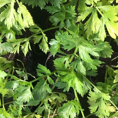Plantines aromaticas